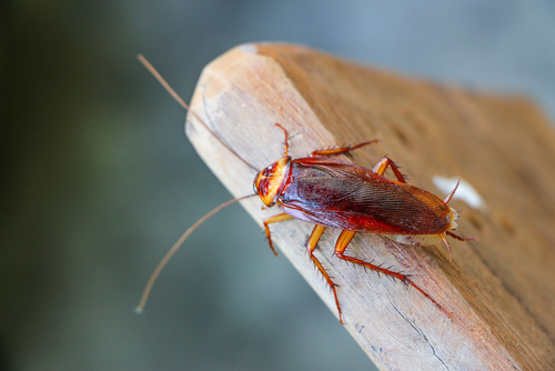 A cockroach sits on a wood plank